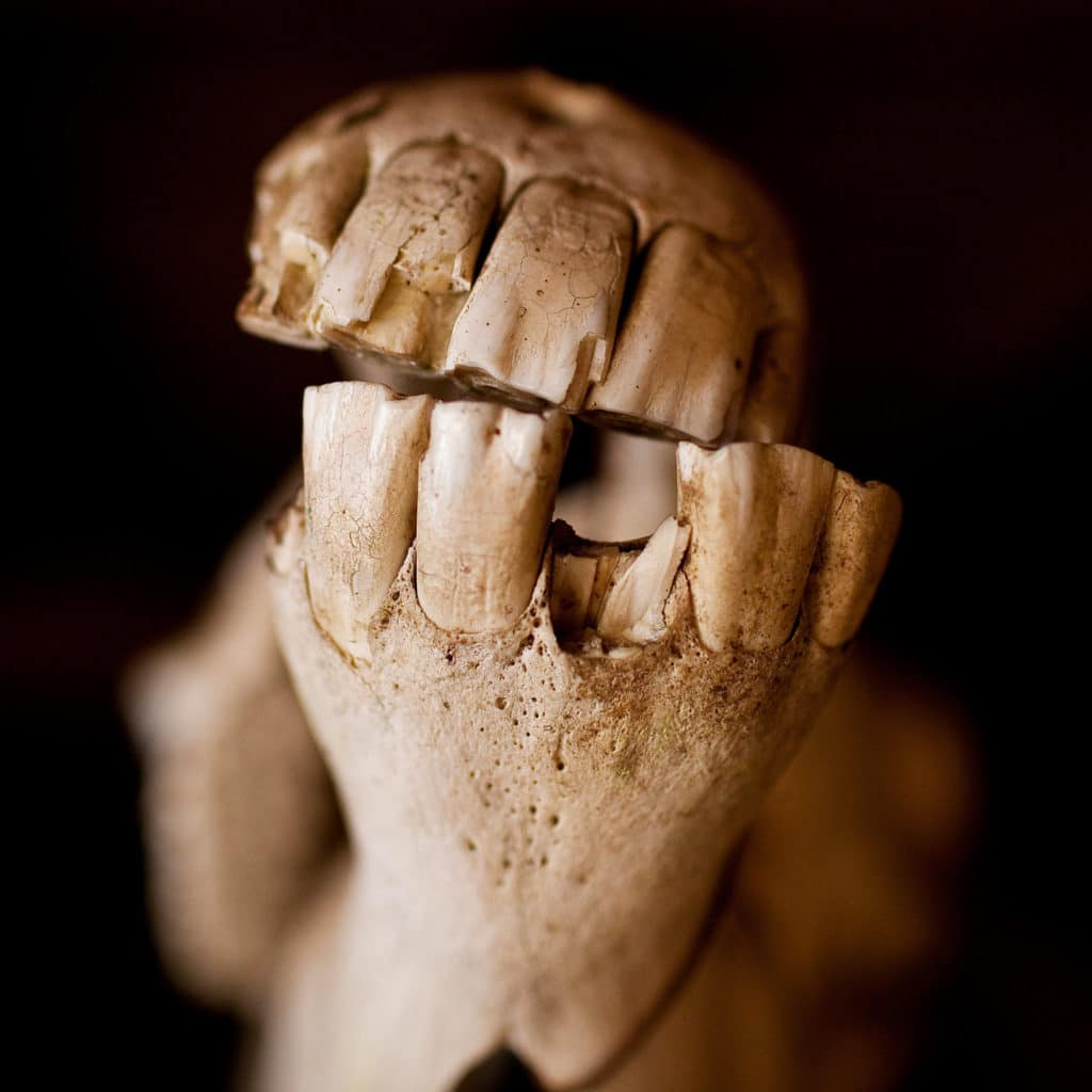 close up photo of a horse jaw